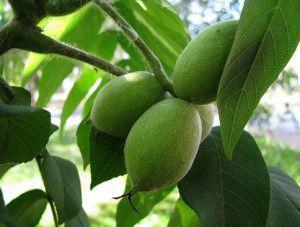 Черный орех на дереве