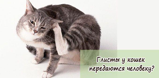 Глисты у кошек: передаются человеку