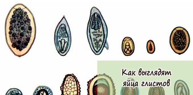 яйца глистов фото