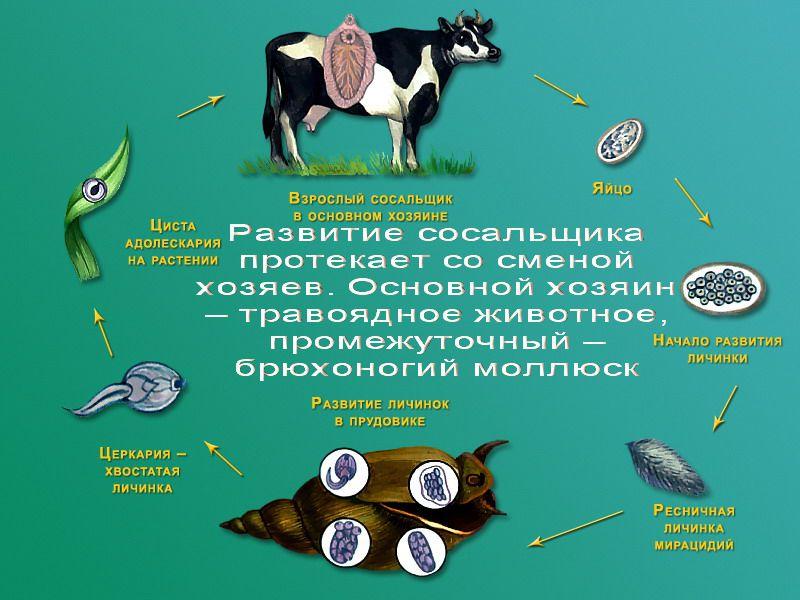 shema-tsikla-razvitiya-pechenochnogo-sosalshhika