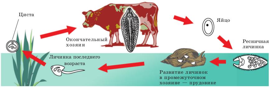 tsikl-razvitiya